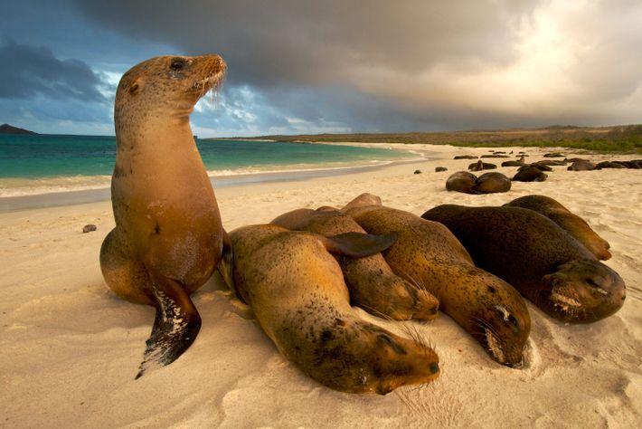 Un grupo de lobos marinos holgazanean en la playa.