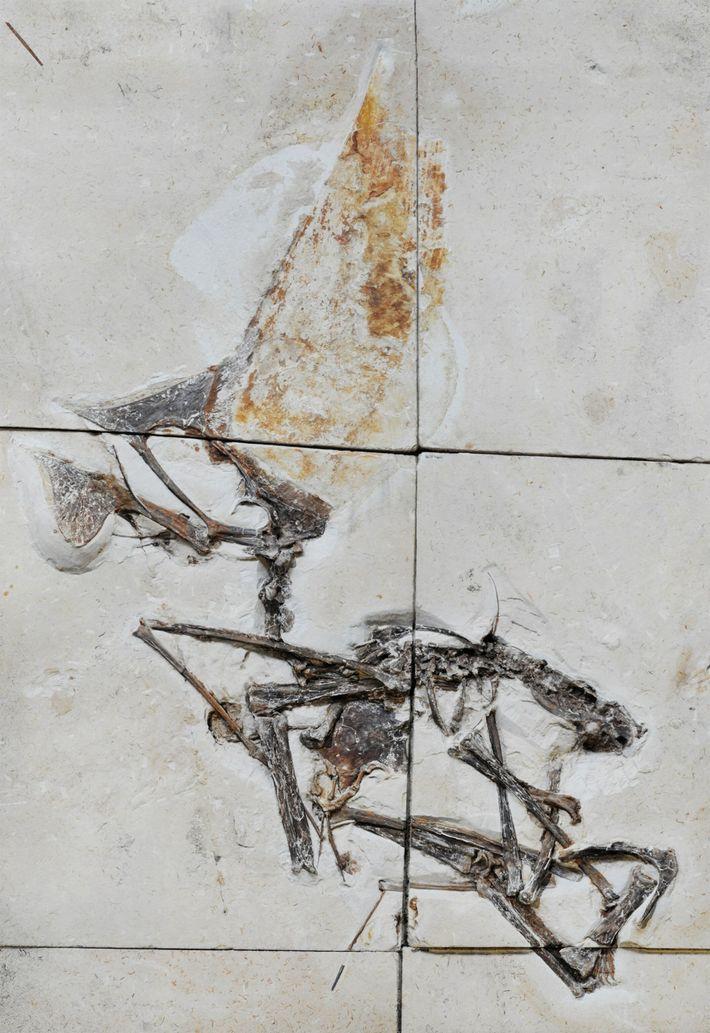 Incrustado en bloques de caliza, el nuevo fósil es el primer esqueleto casi completo de una especie ...