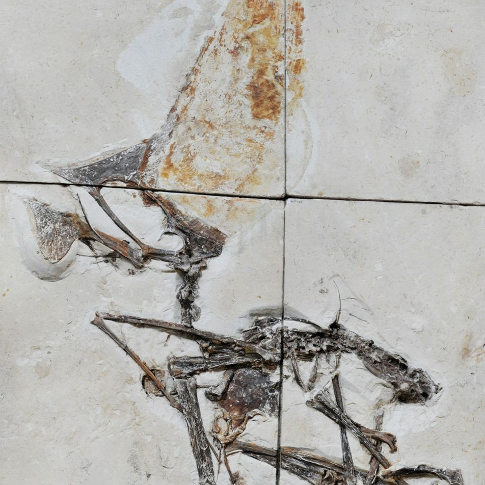 Sorprendentes restos fósiles recuperados en una operación policial revelan secretos de un reptil volador prehistórico