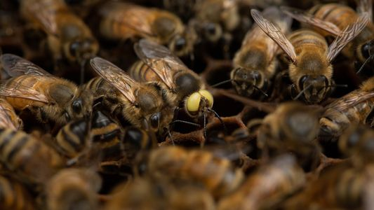 Descubren una extraña abeja que es macho y hembra a la vez