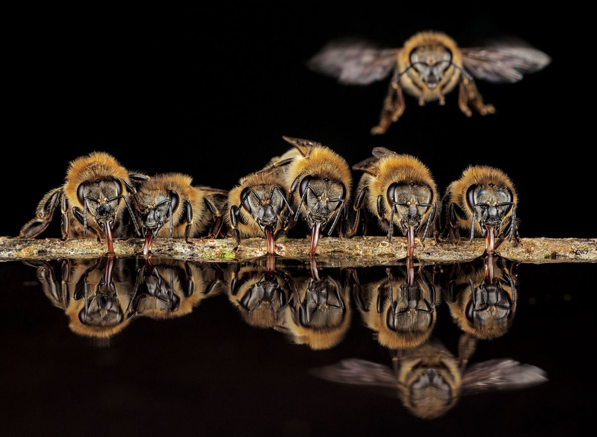 Con lenguas tubulares, las abejas occidentales de Langen, Alemania, beben agua para llevarla de regreso a ...