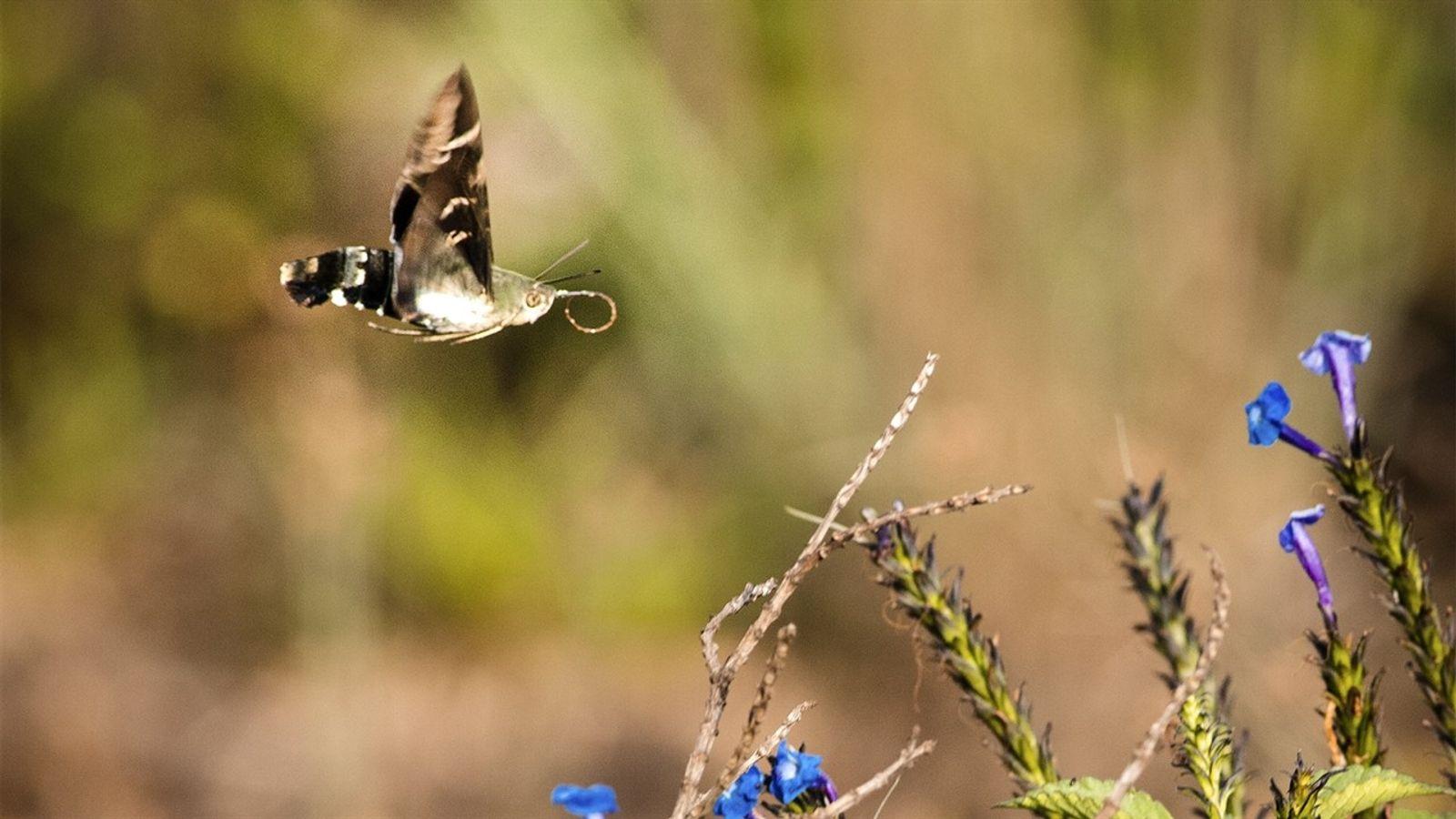 El curioso caso de la polilla que se hace pasar por colibrí