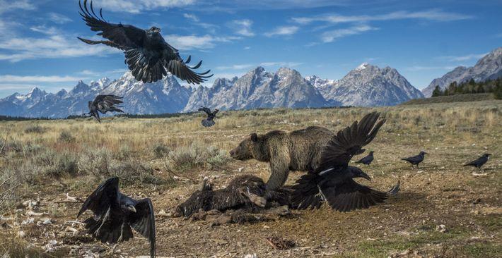 PARQUE NACIONAL GRAND TETON, Wyoming En 2014, el fotógrafo británico Charlie Hamilton James fue enviado a Wyoming, ...