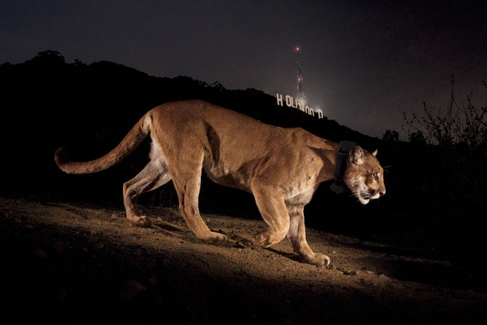 HOLLYWOOD, California Su nombre era P22, y hacía tiempo que el fotógrafo Steve Winter estaba interesado en ...