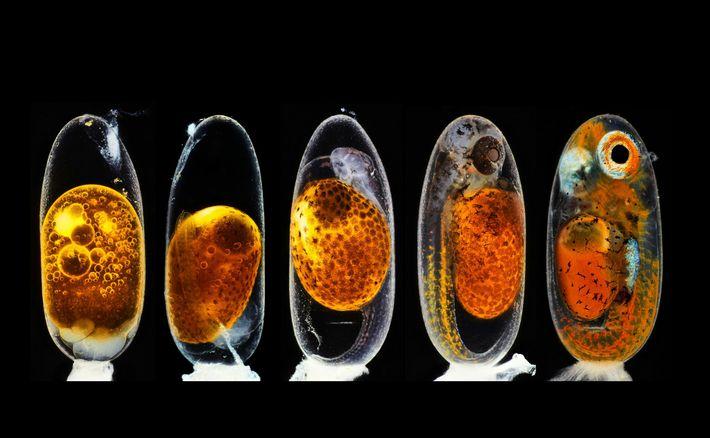 El fotógrafo Daniel Knop superpuso cinco imágenes de un embrión de pez payaso para ilustrar las ...