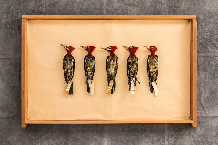 Cinco robustos pájaros carpinteros (Campephilus robustus) en un cajón de las colecciones del Museo Argentino de Ciencias Naturales ...
