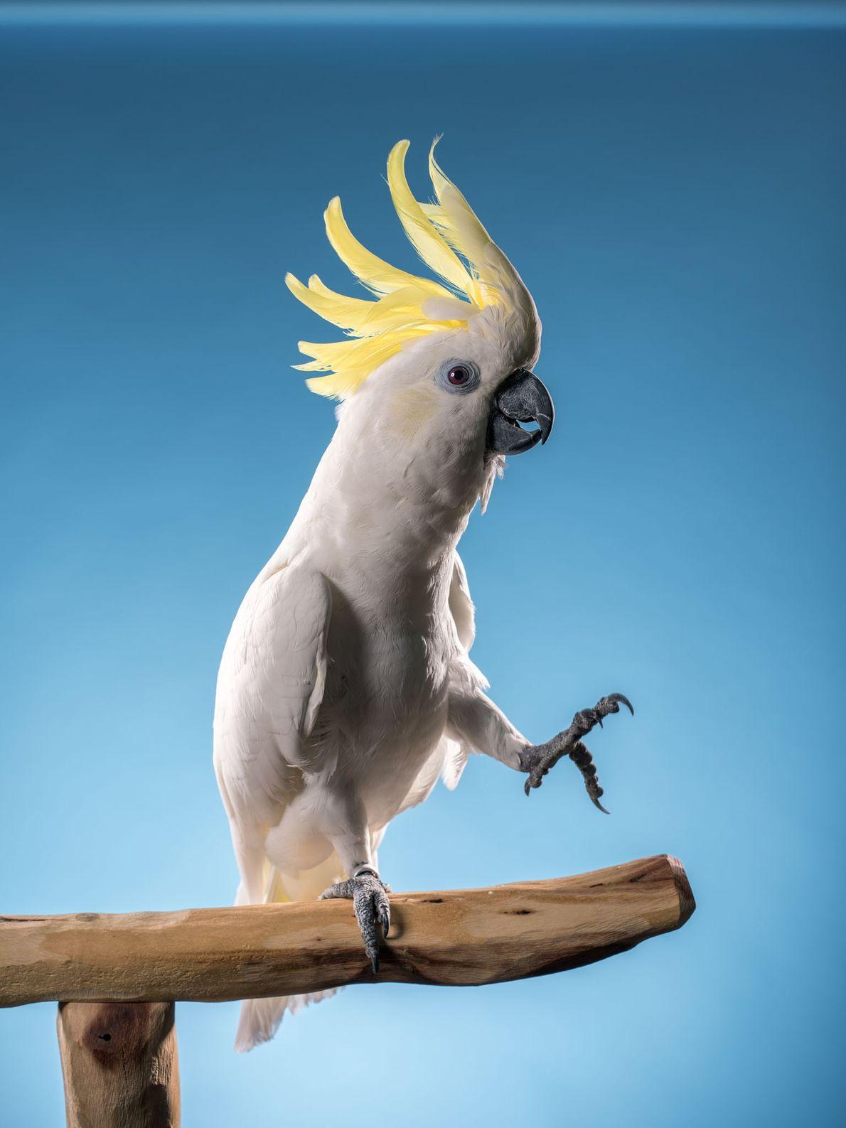 Snowball, una cacatúa de cresta amarilla, cautivó a los fanáticos de YouTube, y neurocientíficos, cuando bailó ...