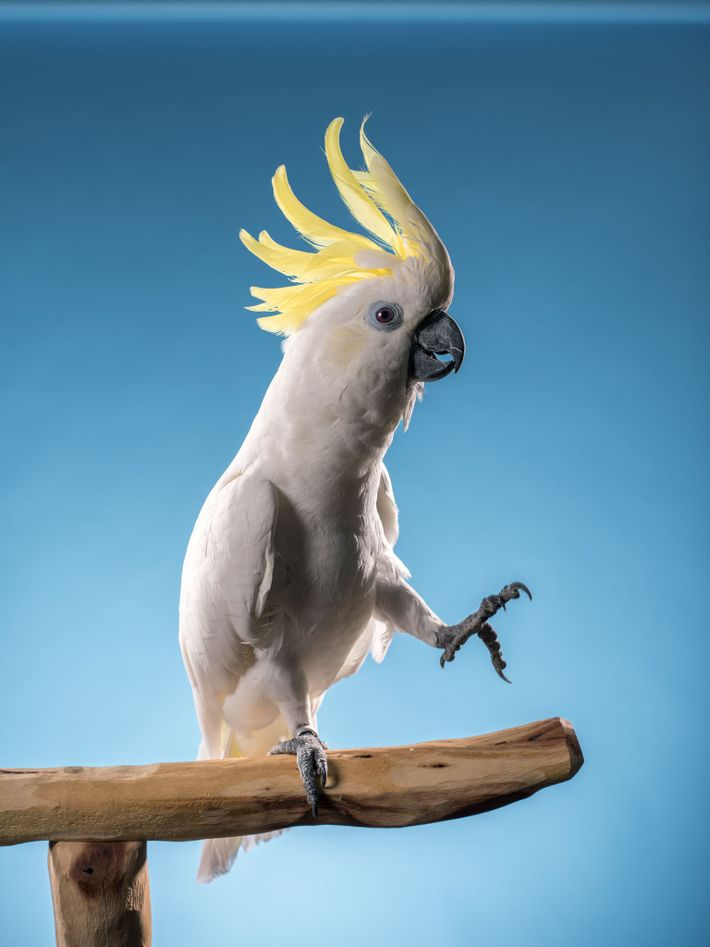 Snowball, a sulphur-crested cockatoo, wowed YouTube fans—and neuroscientists—when he rocked in time to the Backstreet Boys' ...