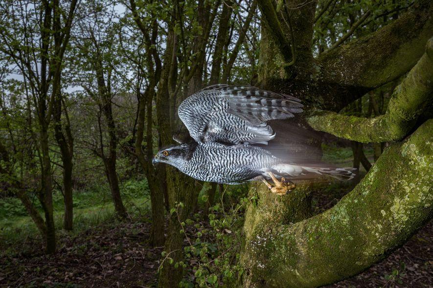 Ellie, un azor propiedad de Lloyd y Rose Buck en Inglaterra, mete sus alas y cruza ...