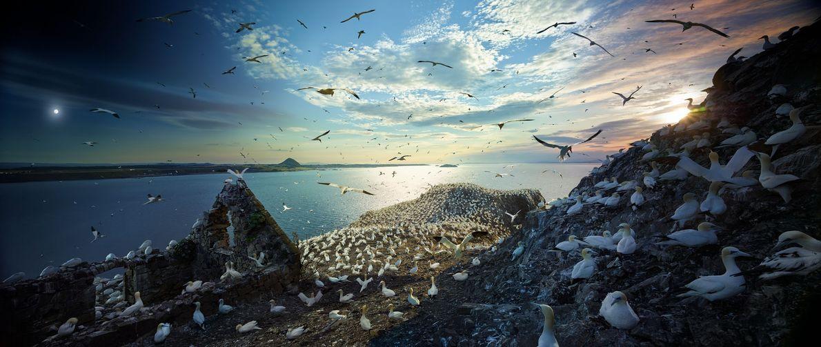 Durante la temporada de reproducción, unos 150,000 alcatraces pululan por la isla Bass Rock de Escocia ...