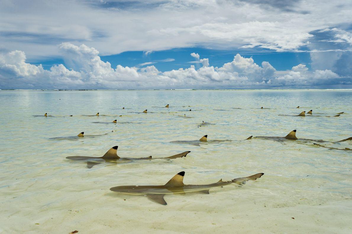 Tiburón punta negra. Atolón de Aldabra, Seychelles.