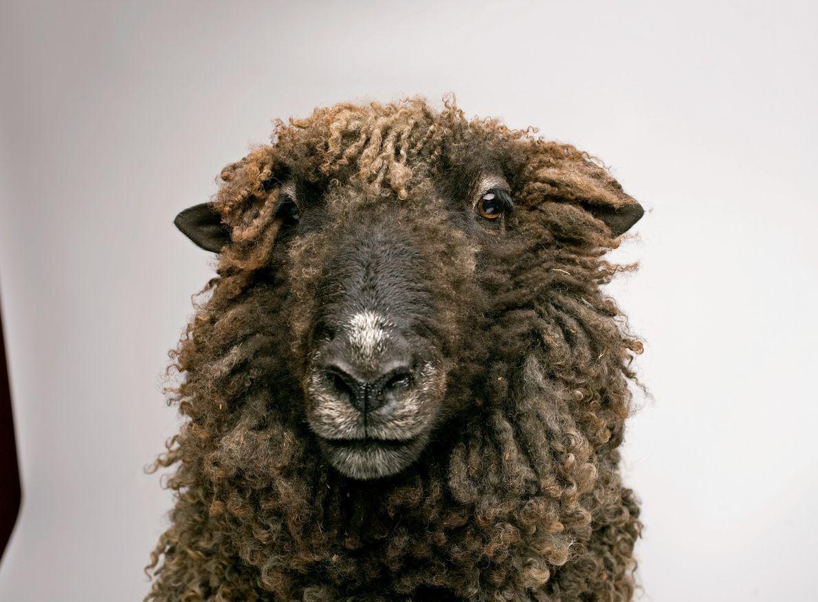 Varios estudios han mostrado que las ovejas son expertas en reconocerse unas con otras y en ...