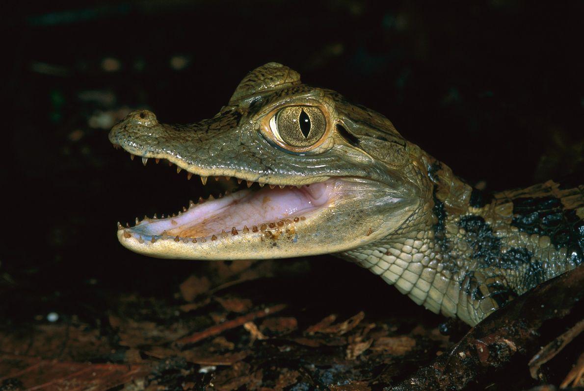 El caimán negro, como este joven fotografiado en la Reserva Natural Tambopata-Candamo de Perú, fue severamente ...