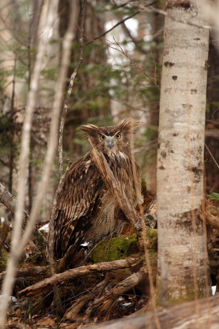 Un búho de Blakiston, alerta y con las orejas rígidas, se prepara para volar en marzo ...
