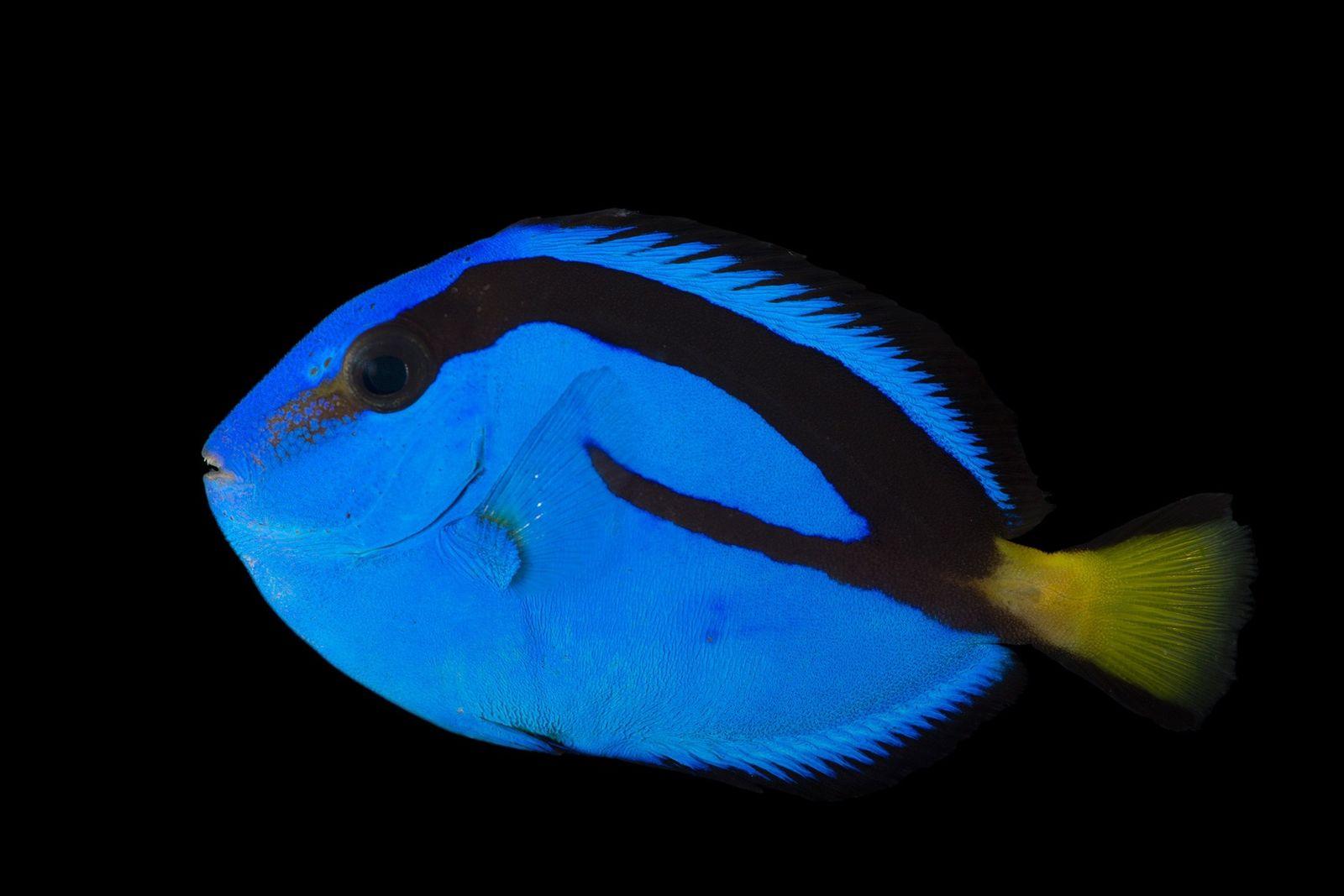 Los peces cirujano azul pueden encontrarse en las aguas cristalinas de los arrecifes de coral. Los ...