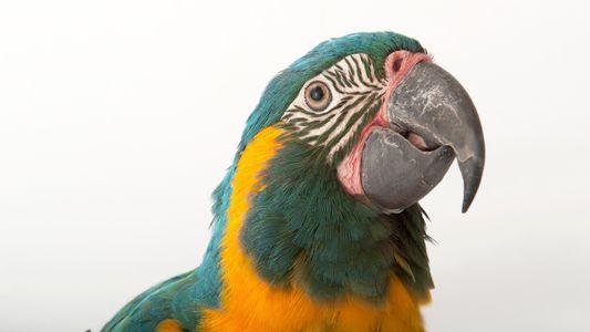 Guacamayo de barba azul