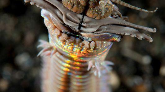 Los fósiles revelan que los gusanos depredadores gigantes acechaban en el fondo marino antiguo