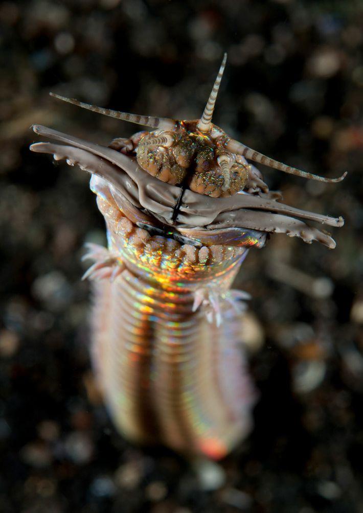 Los gusanos depredadores de arena pueden medir hasta 3 metros de largo. Este fue fotografiado en ...