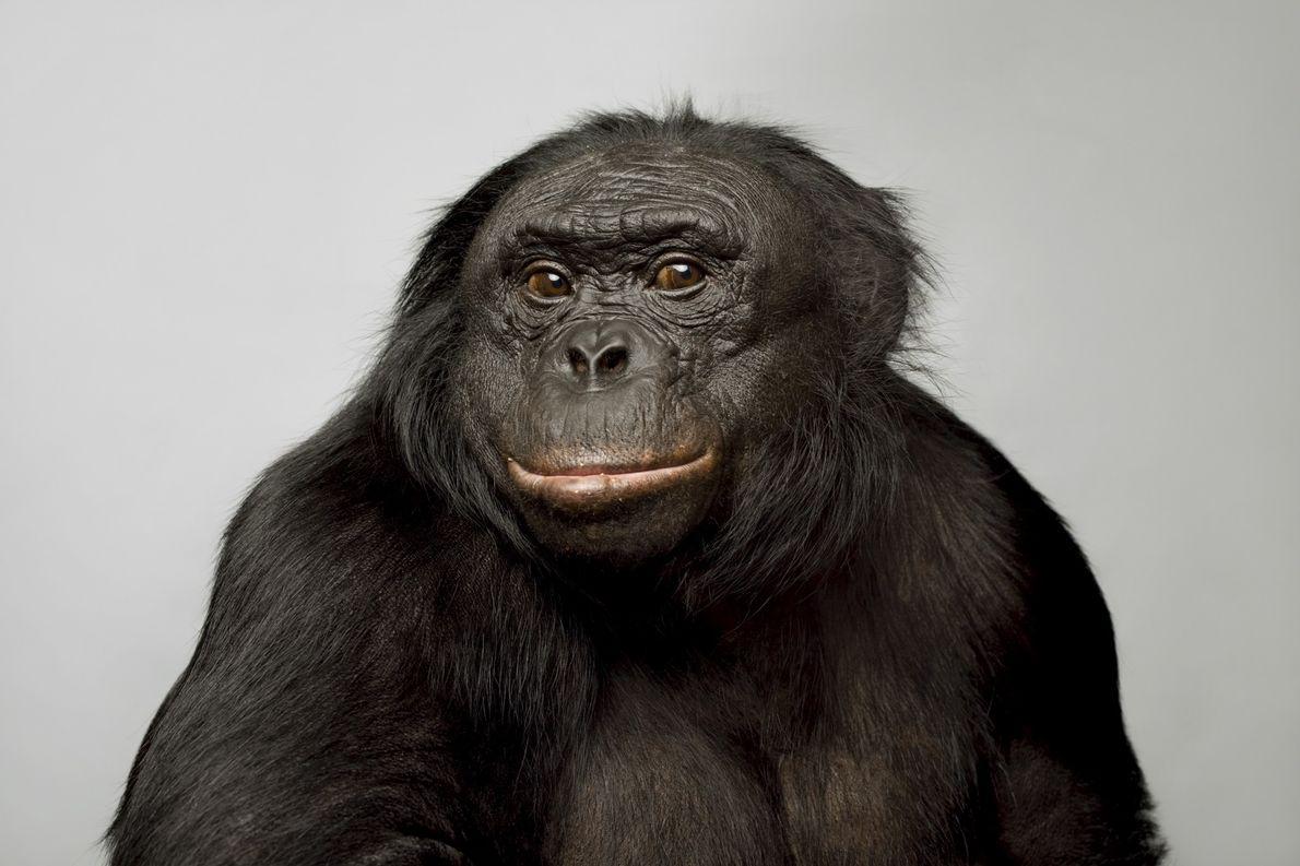 Kanzi, un bonobo de 39 años, se hizo conocido por sus habilidades lingüísticas. Puede comunicarse usando ...