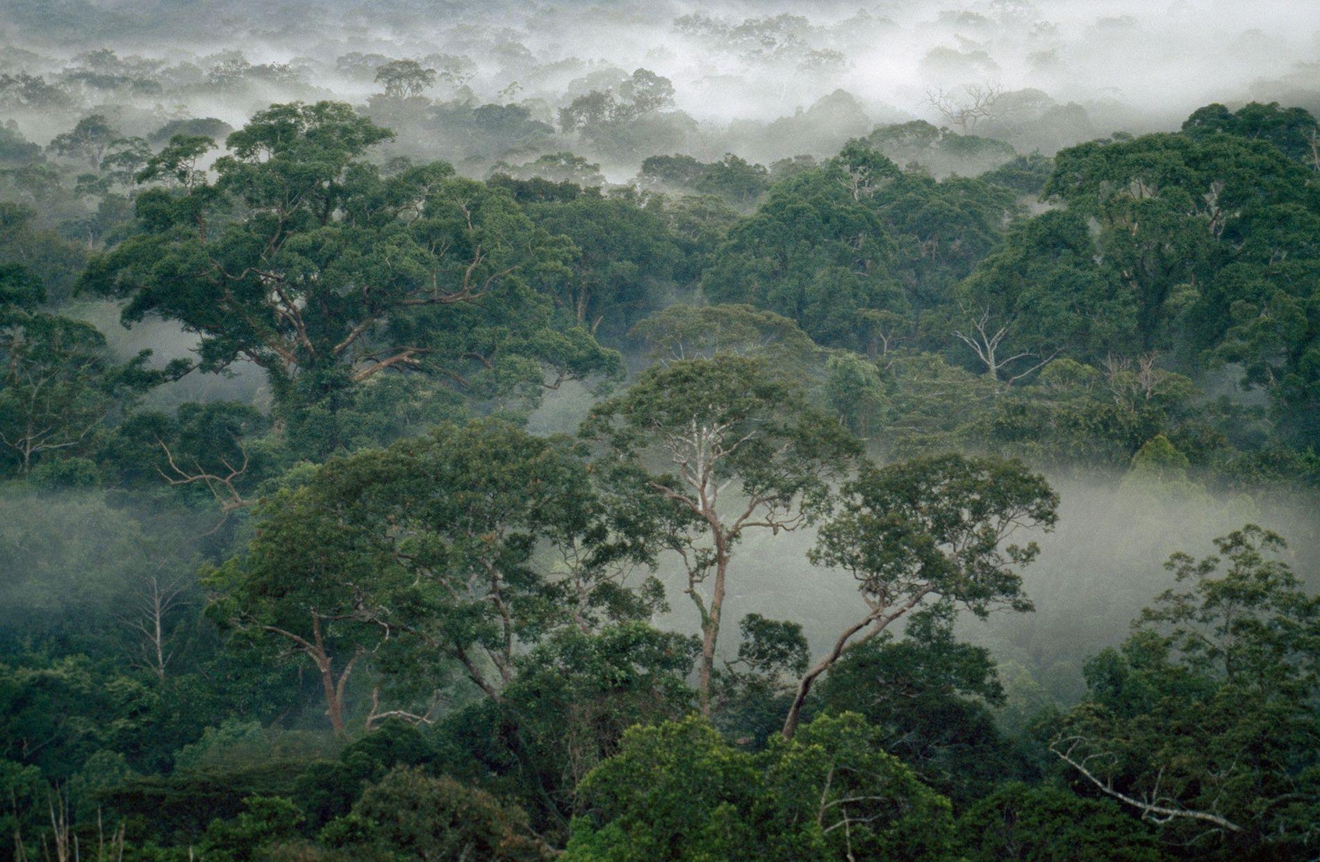 Árboles de la selva tropical envueltos en niebla en el parque nacional de Gunung Palung, isla de Borneo, Indonesia.