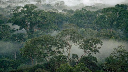 Árboles de la selva tropical envueltos en niebla en el parque nacional de Gunung Palung, isla ...