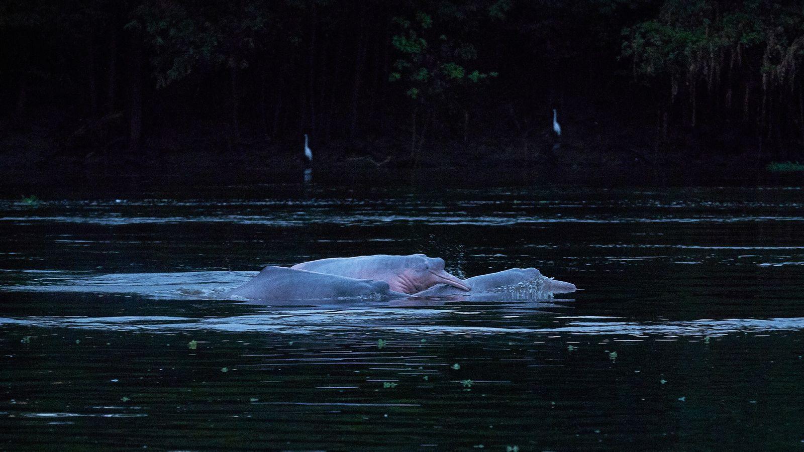 Los delfines rosados afloran en la reserva de desarrollo sostenible Mamirauá en Amazonas. Son comunes en ...