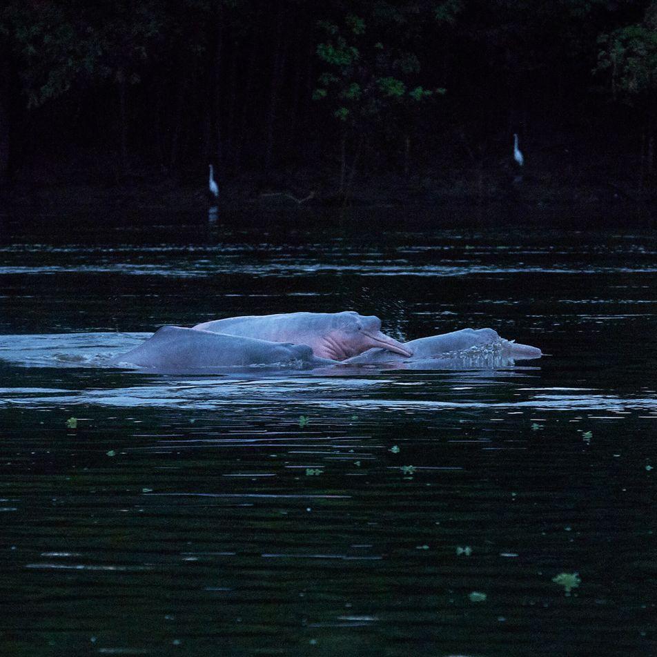¿Cuántos delfines de río hay en la Amazonía?