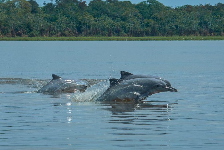 A diferencia de los delfines rosados (o delfines rojos, como los llama la gente de la ...