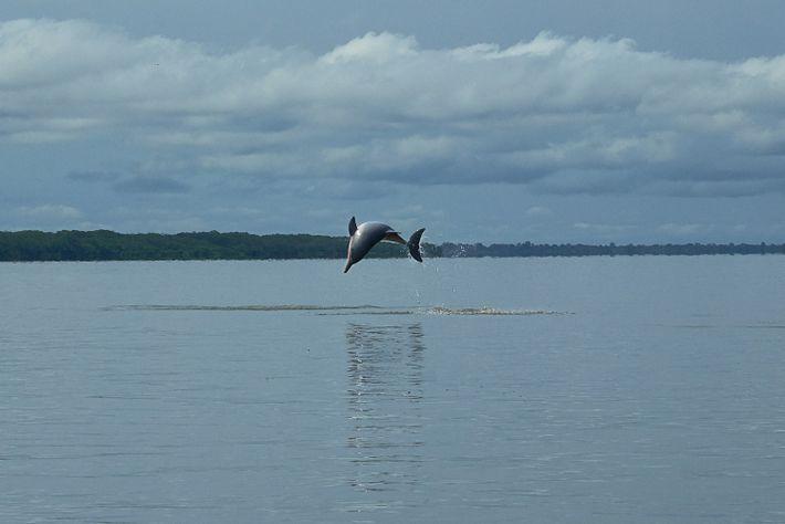 Un tucuxi salta en la reserva de desarrollo Mamirauá. El tucuxi llegó a la cuenca del ...