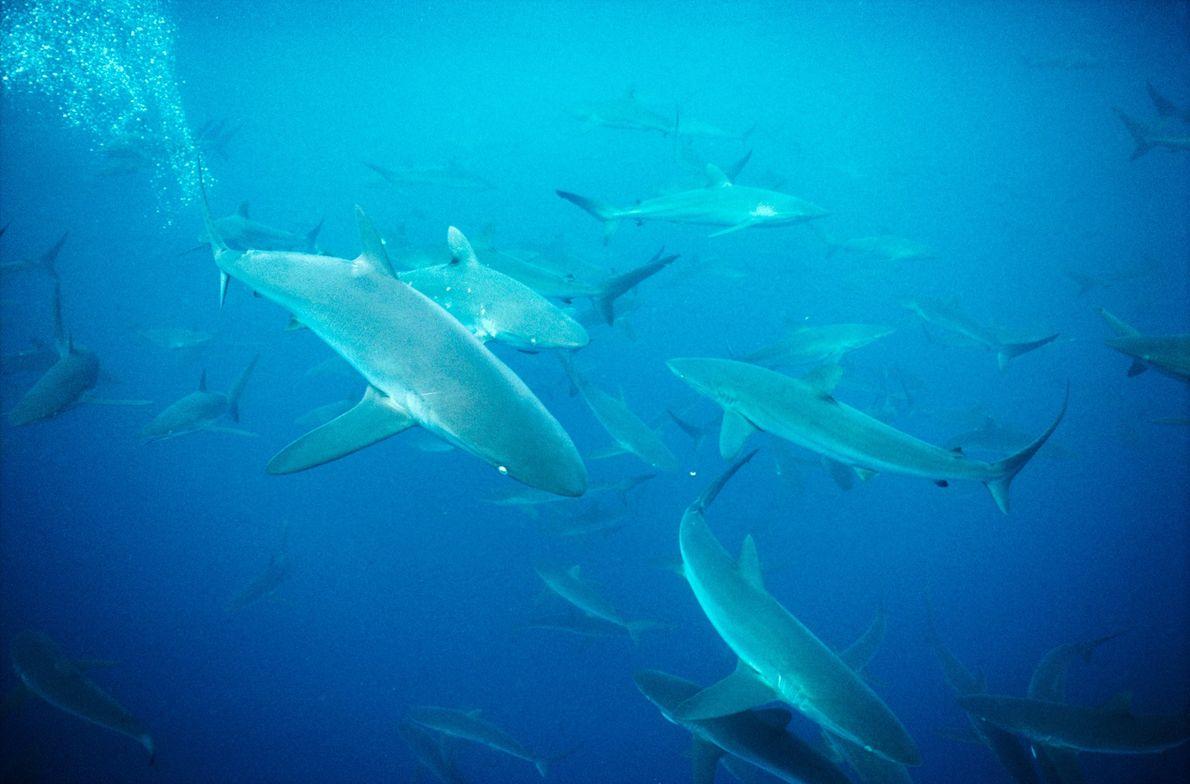Tiburón cobrizo. Islas Galápagos, Ecuador.