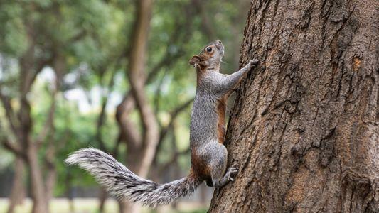 En América del Sur hay más especies de ardillas que las que se creía