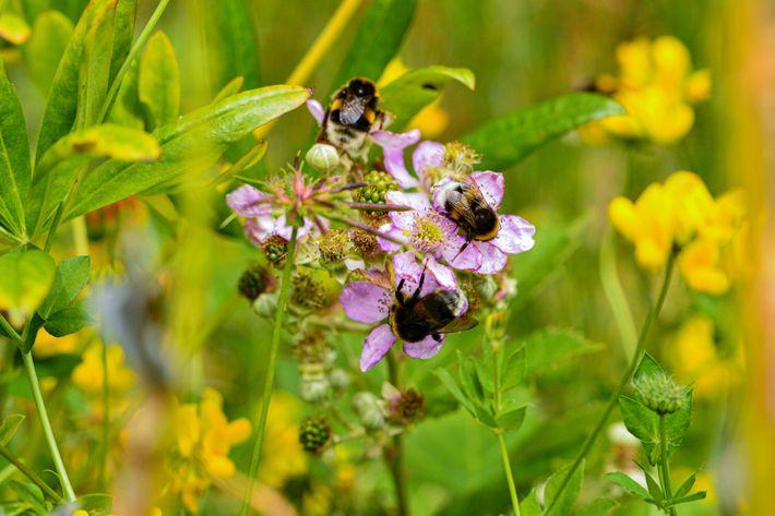 Los abejorros con cola, originarios de Europa, se alimentan de flores de mora en Puerto Blest, ...