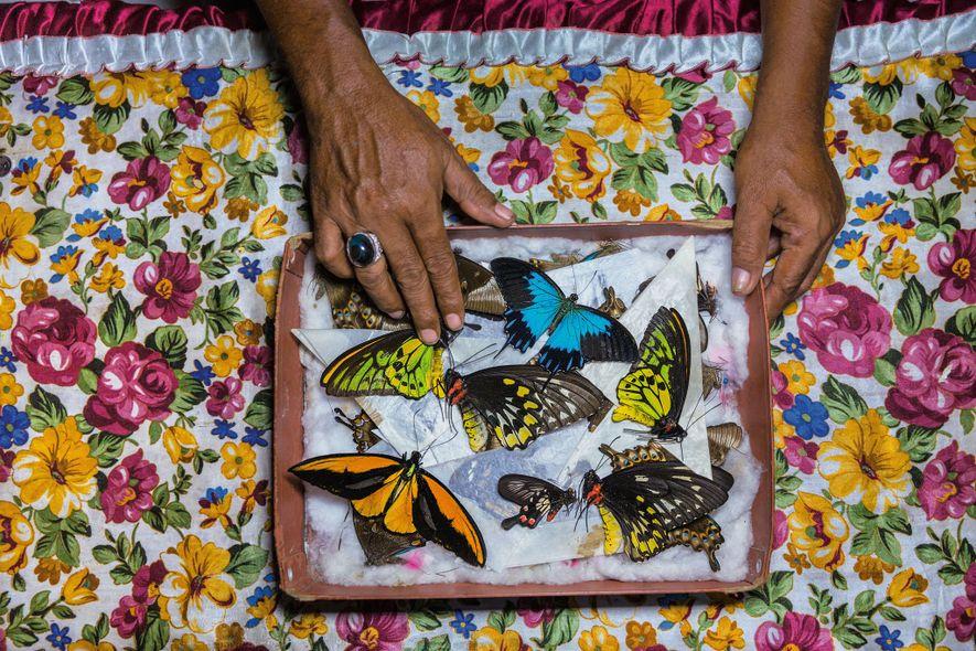 Un cazador de mariposas en la isla de Bacan, Indonesia, clasifica los ejemplares que venderá en ...