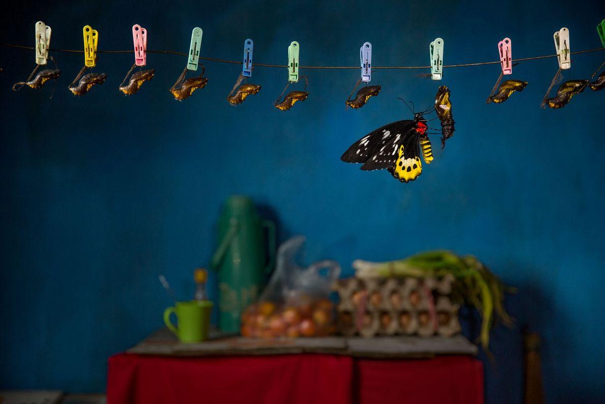 Reproducción de una Ornithoptera goliath en la cocina de una casa turística en Papúa del oeste, ...