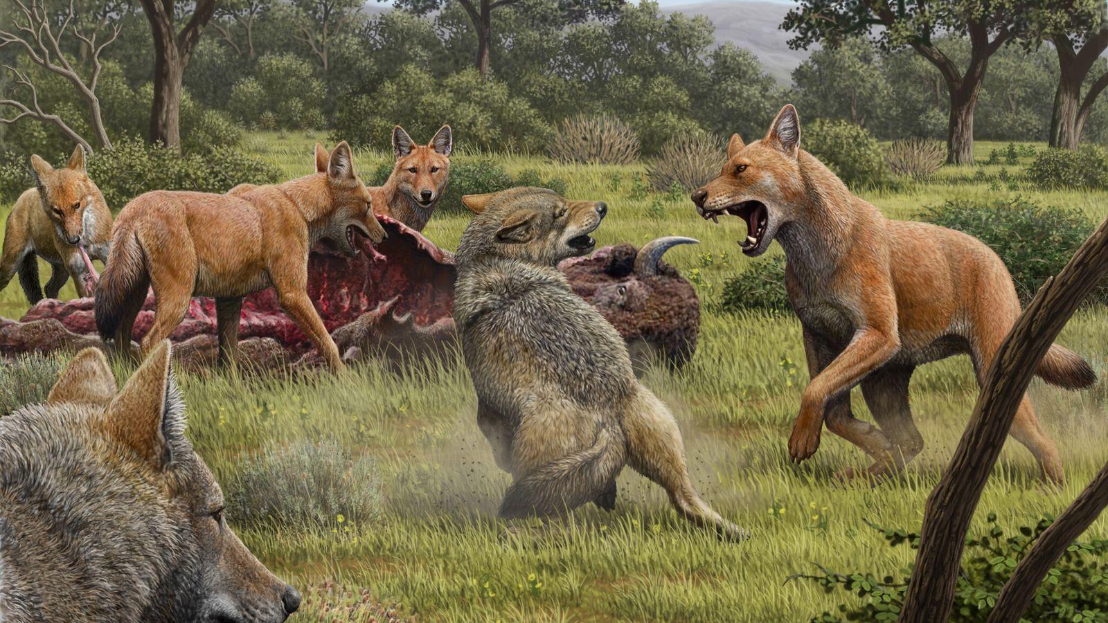 Lobos gigantes, con pelaje rojizo, se enfrentan con lobos grises. Esta imagen fue creada por el ...