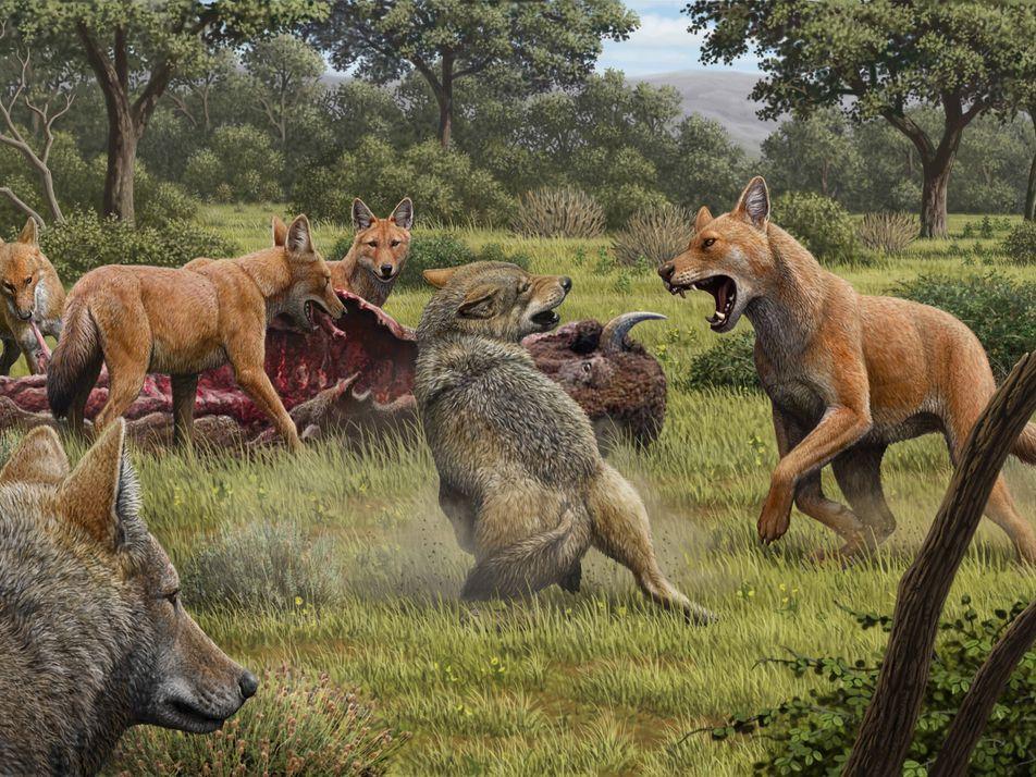 Los lobos gigantes existieron y eran más extraños de lo que se creía