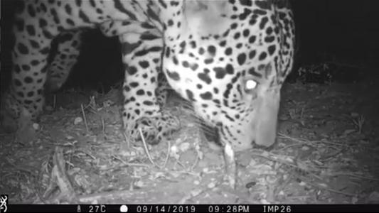 Argentina: primeras imágenes de un yaguareté en el Parque Nacional El Impenetrable