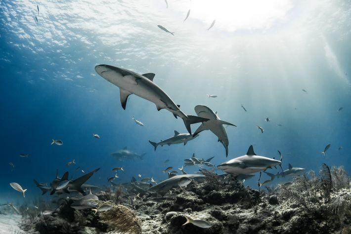 Los tiburones de arrecife del Caribe se reúnen alrededor de la roca y los corales cerca ...