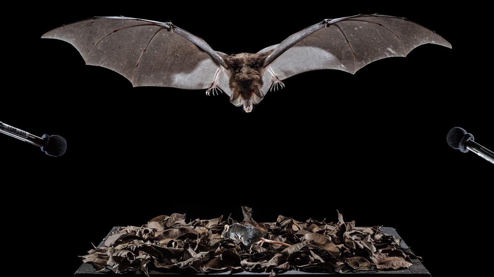 Un murciélago espectral, que se encuentra dentro de una jaula, apunta a un ratón de laboratorio ...