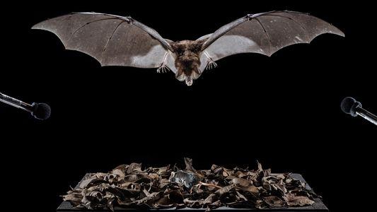 Un templo antiguo revela los secretos de los murciélagos carnívoros de México