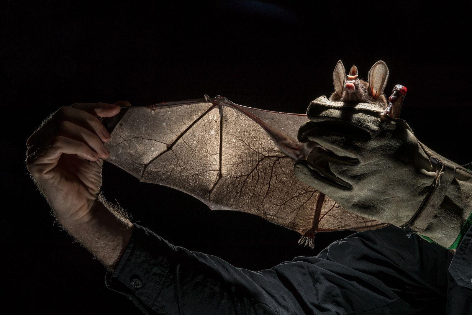 Luego de cazar con una red a este murciélago espectral, Vleut lo toma suavemente para estudiarlo. ...