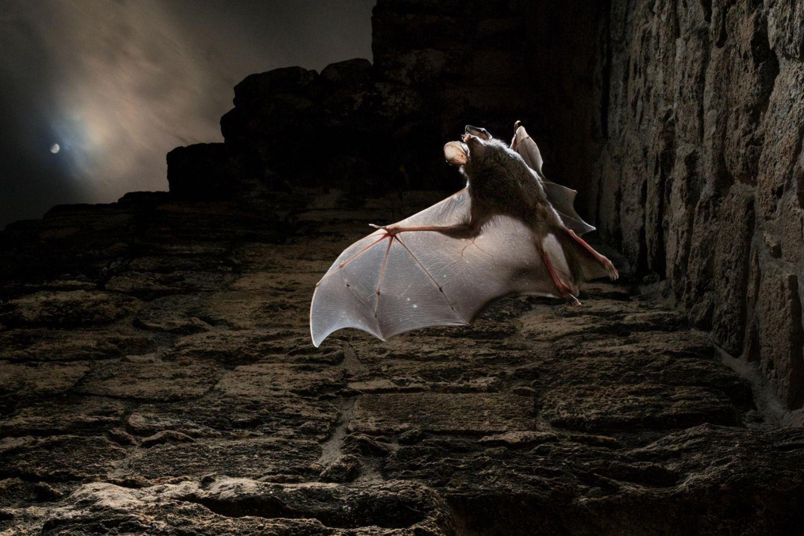 Un vampiro falso lanudo aletea bajo la luz de la luna. Su misión: obtener la cena. ...