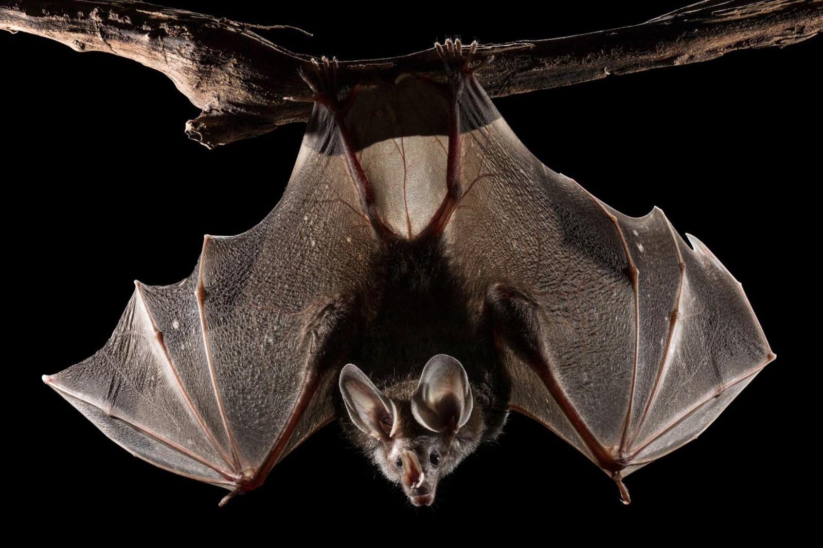 Con todos sus sentidos agudizados, un falso vampiro cuelga de una rama antes de tomar vuelo. ...