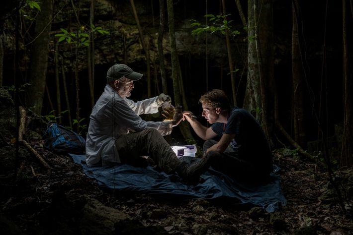 Luego de recoger información y datos genéticos de este murciélago lanudo, el biólogo Rodrigo Medellín (izquierda) ...
