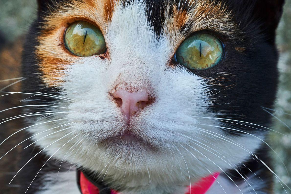 """Aoshima, también conocida como la """"Isla de los Gatos"""" en Japón, alberga diez veces más gatos ..."""