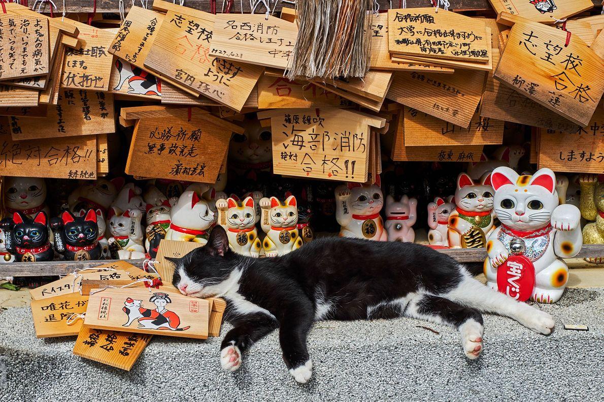 "Un gato real entre ""maneki-neko"", o ""gatos de la suerte"" en un templo de gatos en ..."