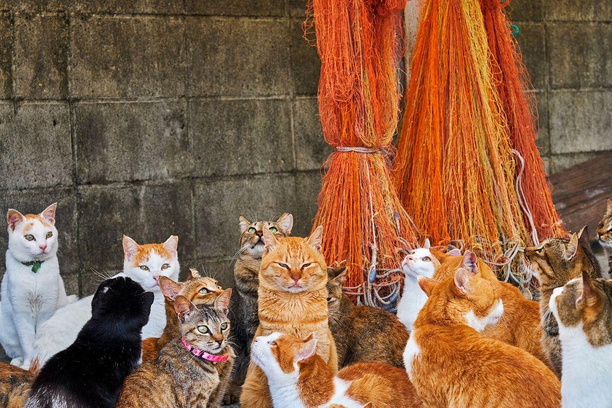 """Estos felinos viven en casi una docena de """"islas de gatos"""" en Japón. Los fotógrafos sostienen ..."""