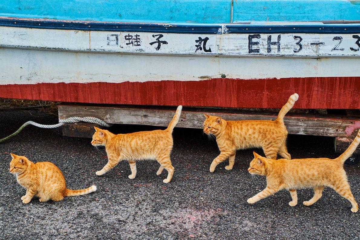 Los gatos atigrados pasan junto a un barco de pesca en Japón, donde los gatos tienen ...