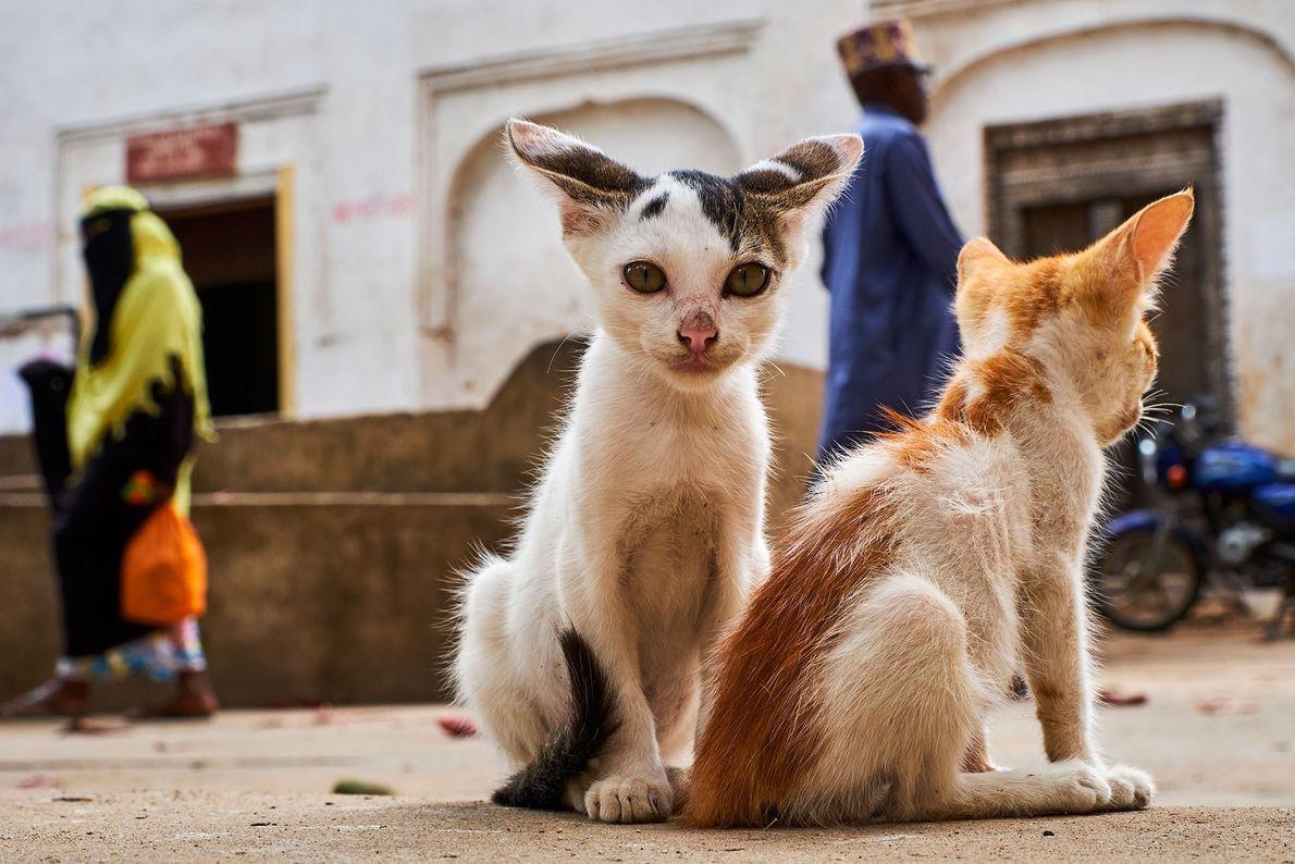 Unos gatitos en la Ciudad Vieja de Lamu, el asentamiento suajili más antiguo de África Oriental ...