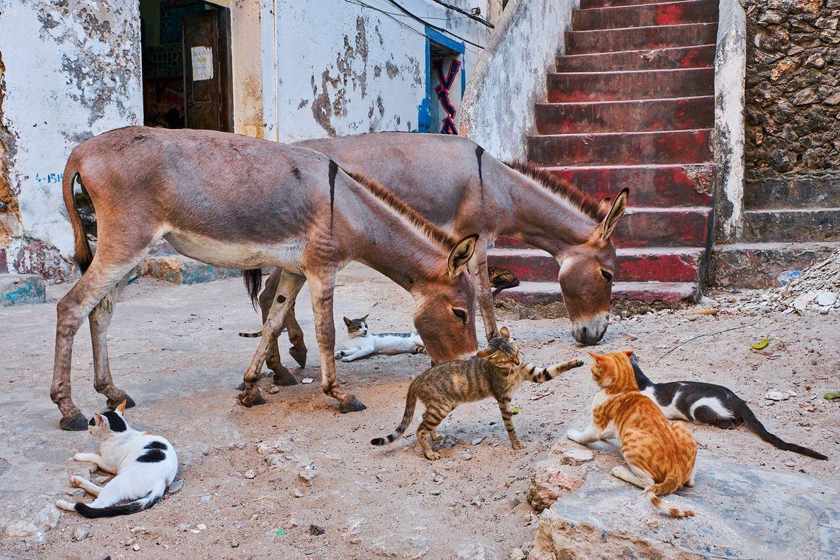 Además de su densa población de gatos callejeros, Lamu alberga miles de burros.